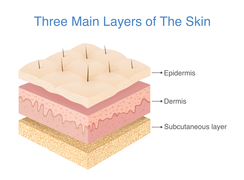 Three main layers of the human skin.