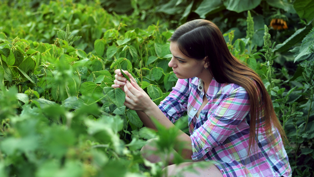 Young female farmer examining plant leaves, work on the field on sunset, checks the crop
